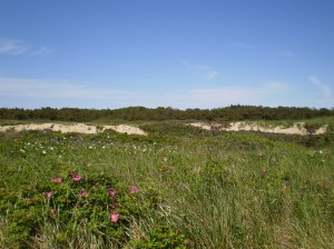 P-town's famous sand dunes and island roses