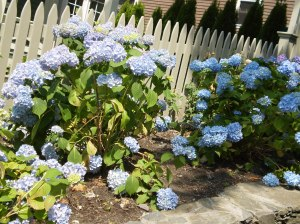 Hydrangeas = summer in New England