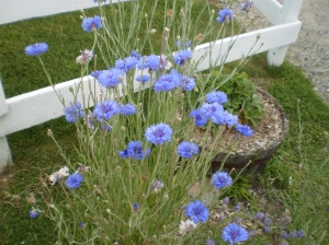 Cornflowers on the farm