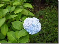 Last of the summer hydrangeas